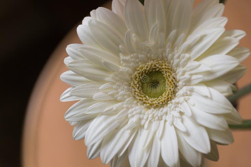 Close-up de uma flor branca do gerbera: é um gênero de plantas herbáceas da família do Asteraceae que origina de África, Ásia e fotografia de stock royalty free