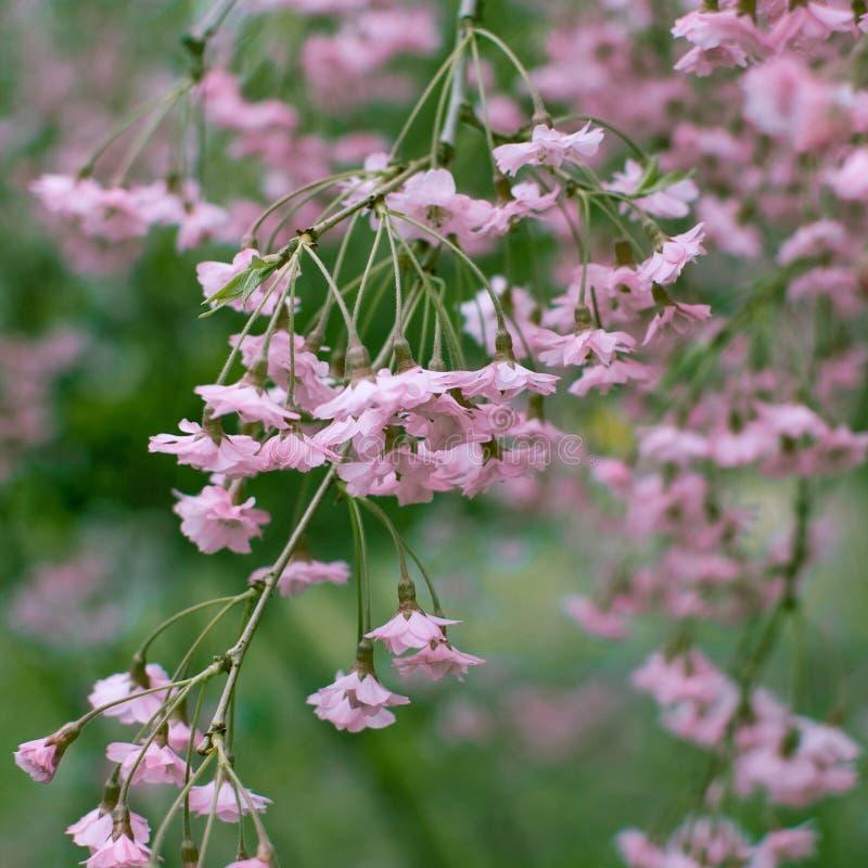 Close up de uma flor de cerejeira cor-de-rosa de suspens?o Mola Formato quadrado imagens de stock