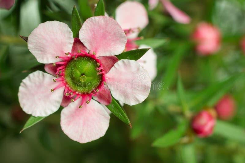 Flor da flor de Manuka (scoparium de Leptospermum) fotografia de stock