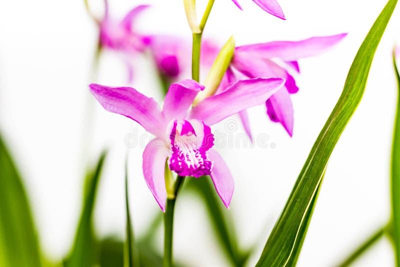 Close up de uma flor cor-de-rosa bonita da orquídea do Bletilla Bletilla isolado no fundo branco, uma cedo da florescência résist imagens de stock royalty free