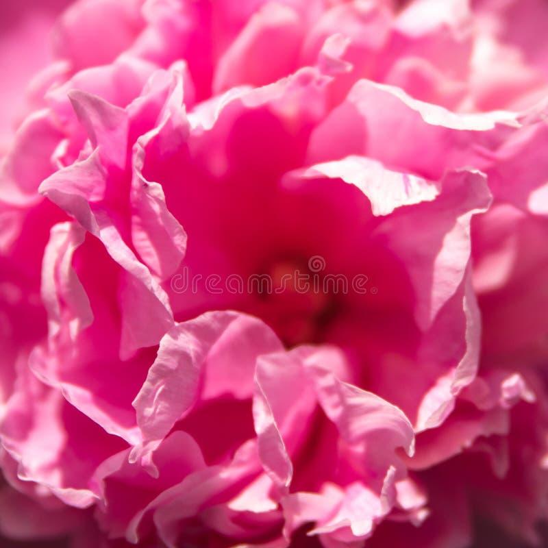 Close up de uma flor cor-de-rosa do peonie, fundo para cumprimentos e foto de stock royalty free