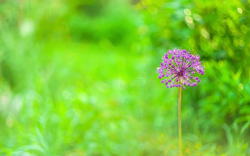 Close up de uma flor cor-de-rosa roxa redonda do Allium do jardim, da cabeça da cebola e da família do alho no fundo verde obscur foto de stock royalty free