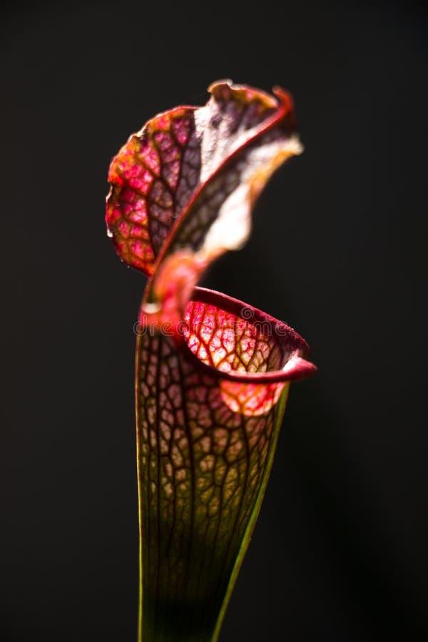 Close-up de uma flor do leucophylla do Sarracenia em um primeiro plano com fundo escuro imagem de stock