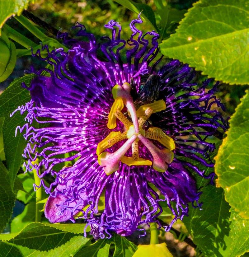 Close up de uma flor roxa da paixão com fundo verde fotos de stock