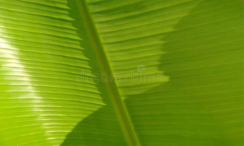 Close-up de uma folha da palmeira da banana Planta, sapientum imagem de stock