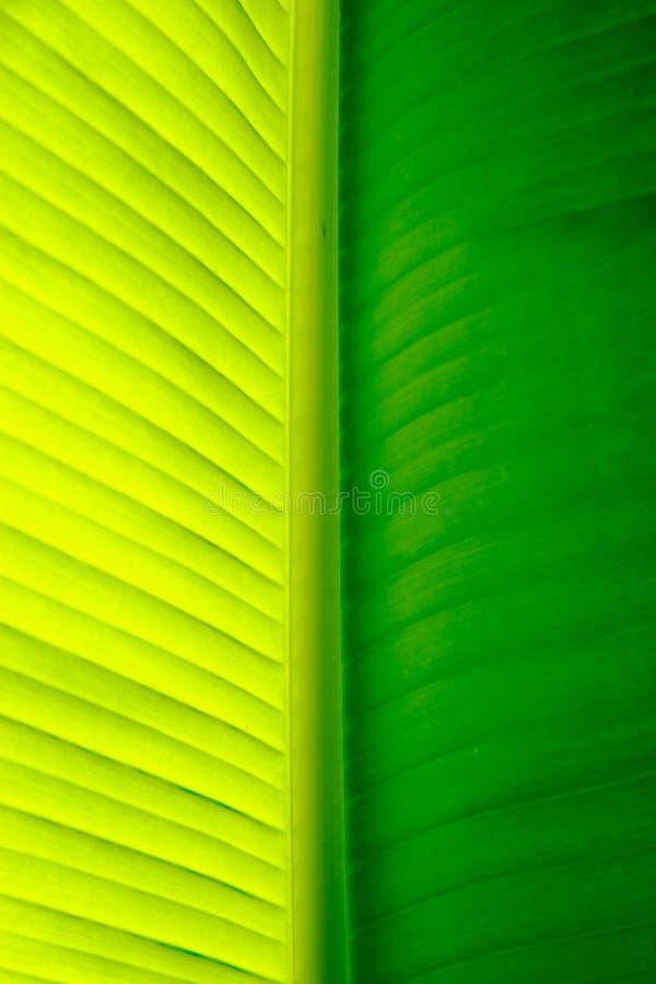Close-up de uma folha da palmeira da banana imagens de stock royalty free