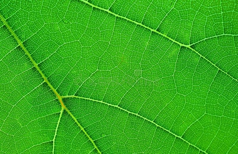 Close up de uma folha da uva imagens de stock royalty free