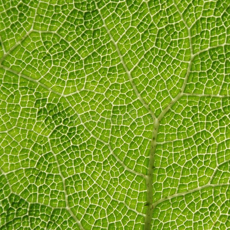 Close-up de uma folha verde fotos de stock royalty free