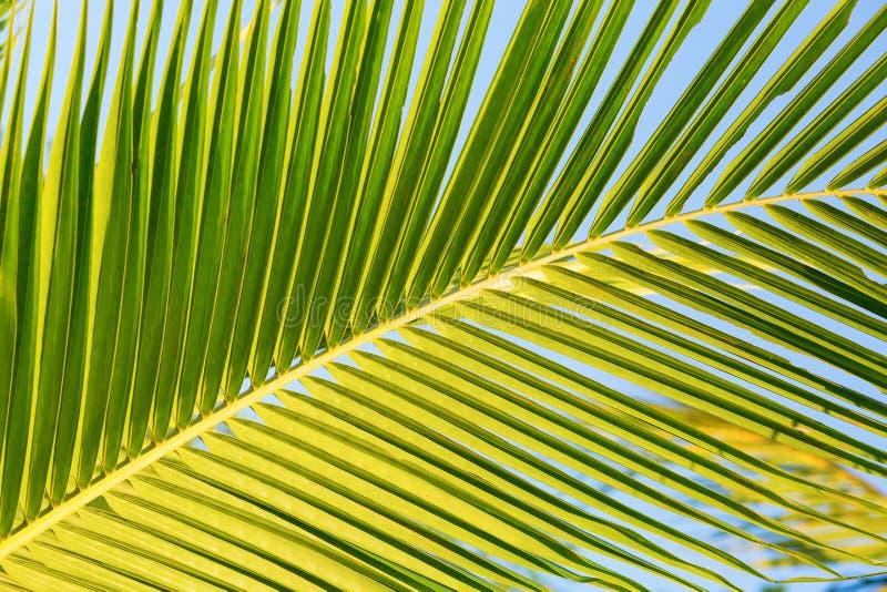 Close up de uma grande folha de palmeira verde imagens de stock