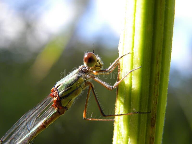 Close-up de uma libélula de descanso fotografia de stock