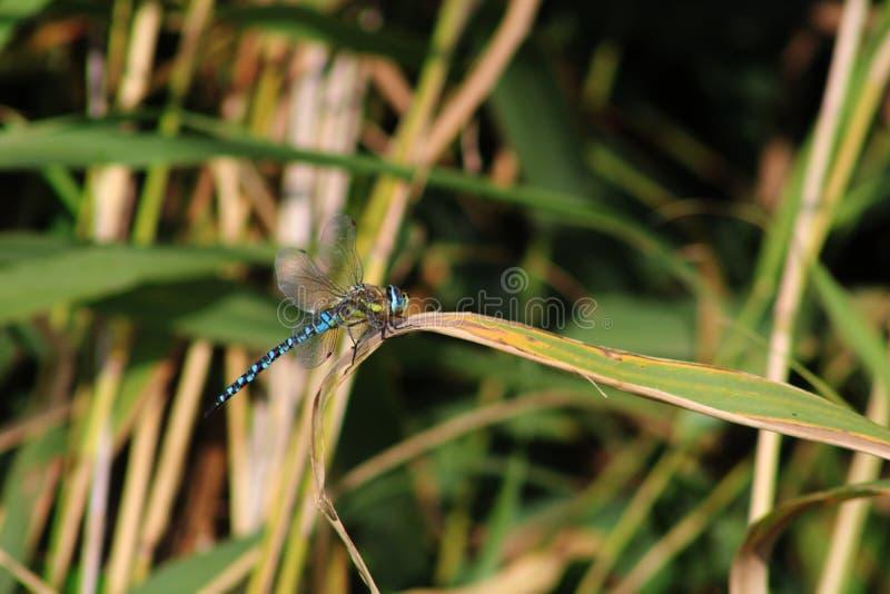 Close-up de uma libélula em um bastão fotografia de stock royalty free