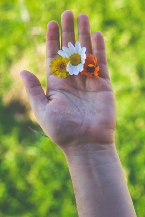Close-up de uma mão que guarda três flores foto de stock royalty free