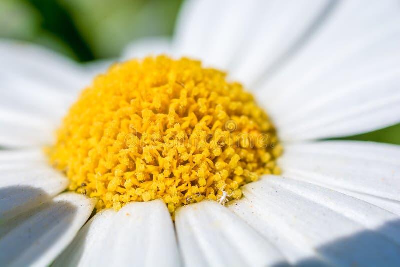 Close-up de uma margarida brilhante amarela foto de stock royalty free
