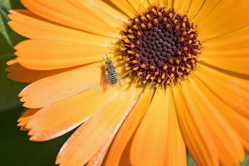 Close up de uma mosca listrada minúscula na flor do Calendula imagem de stock
