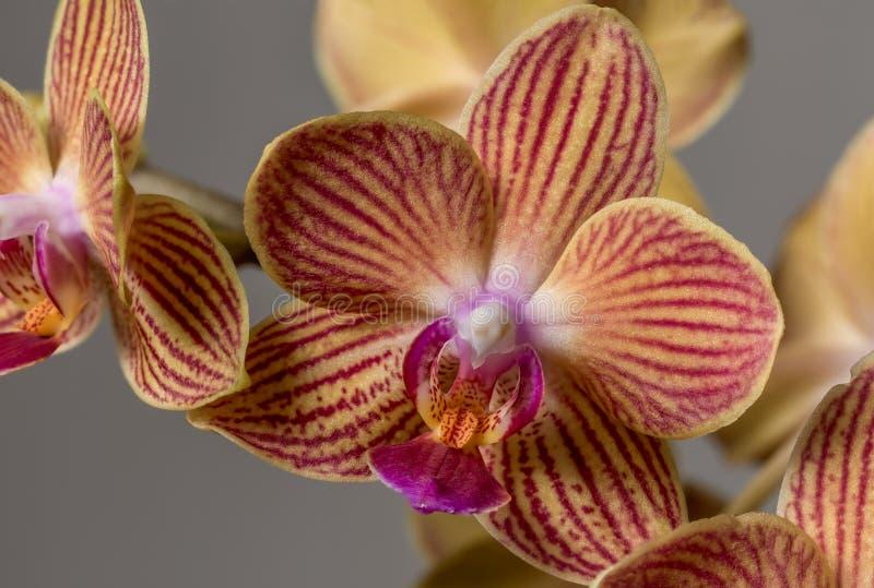 Close up de uma orquídea amarela com listras vermelhas imagem de stock