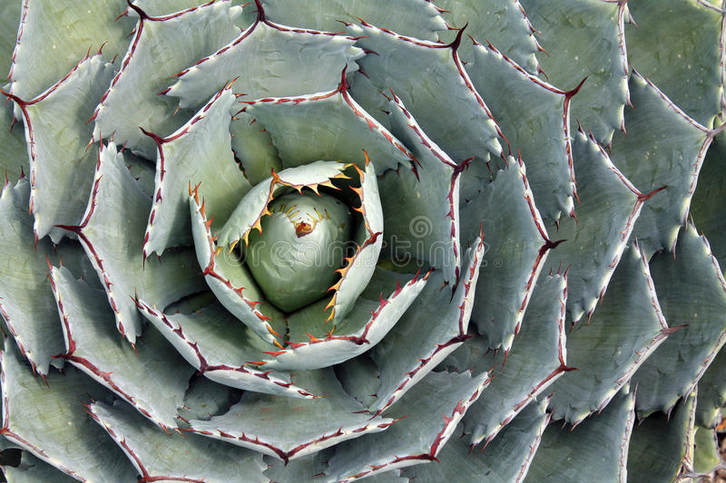 Close up de uma planta da agave fotografia de stock royalty free