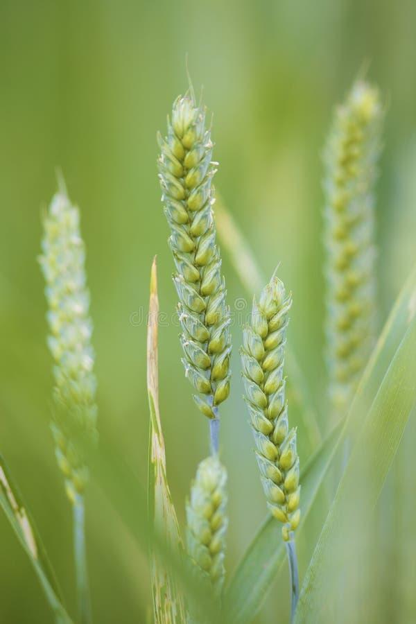 Close up de uma planta verde fresca do trigo em um campo foto de stock