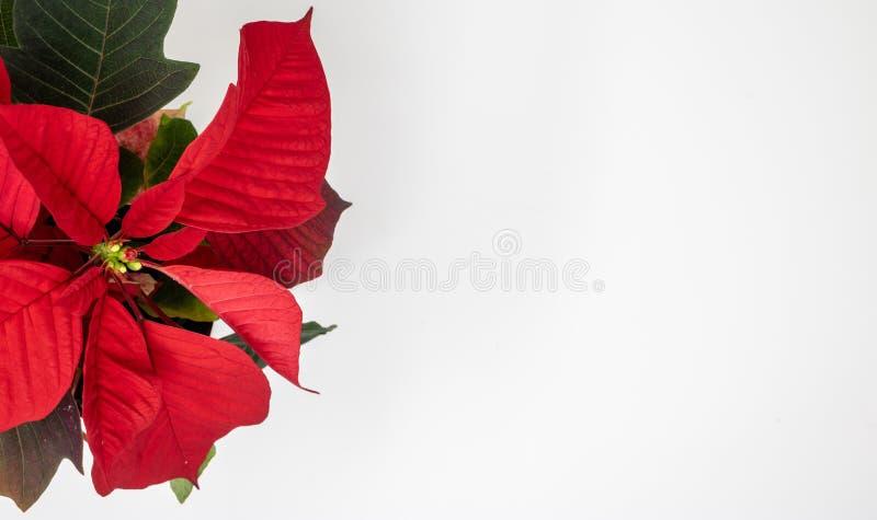 Close-up de uma poinsétia vermelha fotos de stock royalty free