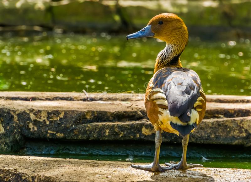 Close up de uma posição de assobio fulvous do pato no lado da água, specie tropical do pássaro de África e América imagens de stock