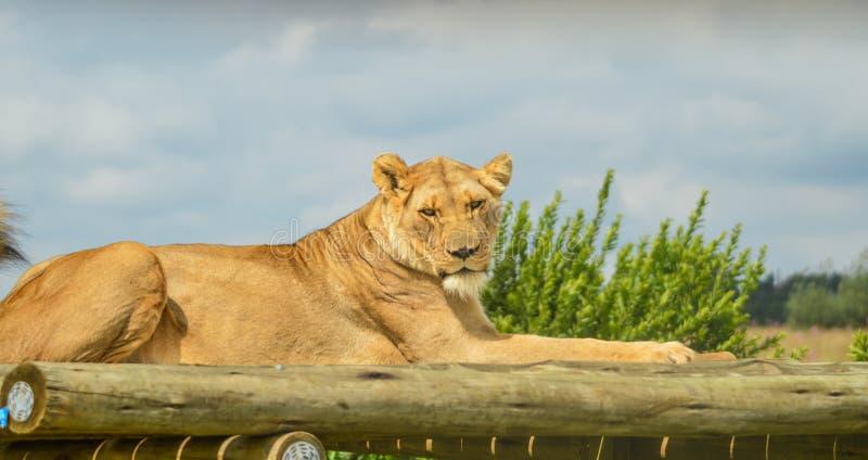 Close up de uma quietude de assento da leoa africana marrom nova bonita durante um safari em uma reserva natural em África do Sul imagem de stock royalty free
