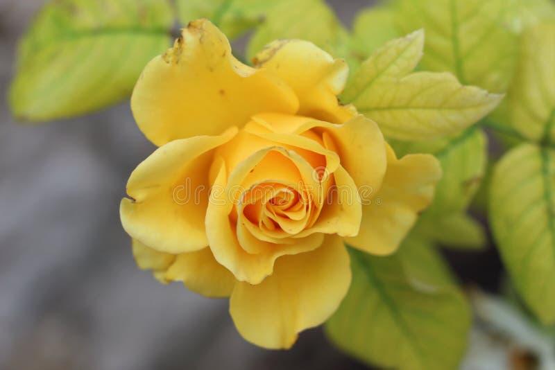 Close-up de uma rosa amarela imagem de stock royalty free