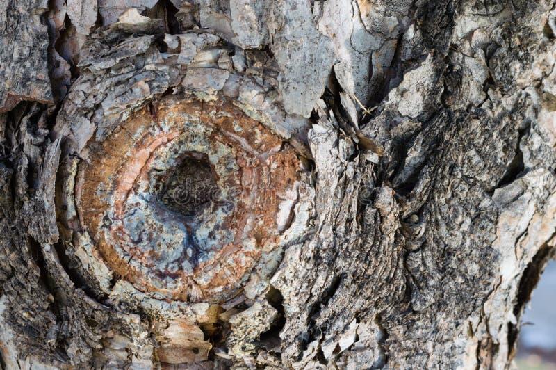 Close up de uma senão em uma árvore imagens de stock