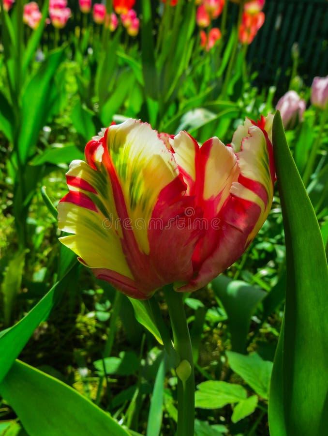 Close up de uma tulipa arco-íris-colorida pastel fechado do papagaio fotografia de stock