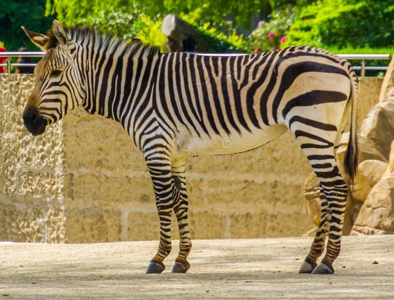 Close up de uma zebra de montanha dos hartmann adultos, specie tropical vulner?vel do cavalo de Nam?bia e angola em ?frica fotos de stock
