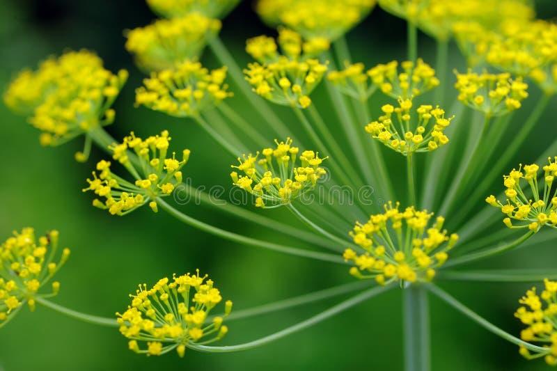 Close-up de Umbel do aneto fotografia de stock