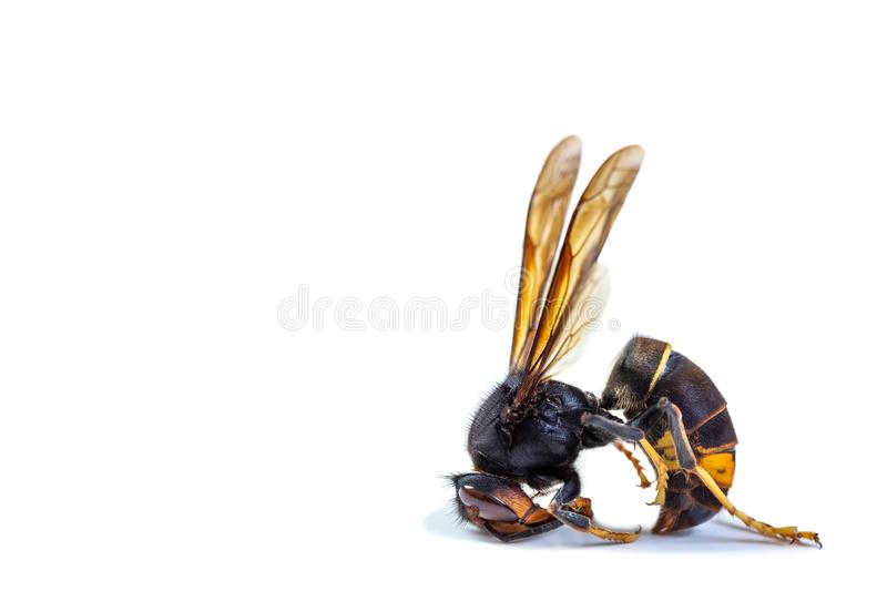 Close up of dead asian hornet-Poisonous venom animal colony. Concept of danger in nature stock images