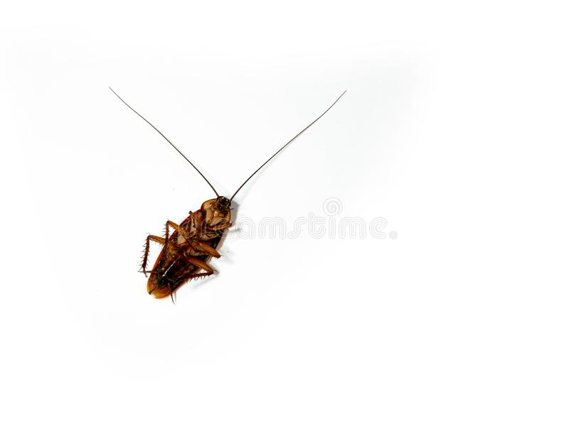 Close-Up Of Dead Cockroach isolated on white background / insecticide products royalty free stock photos