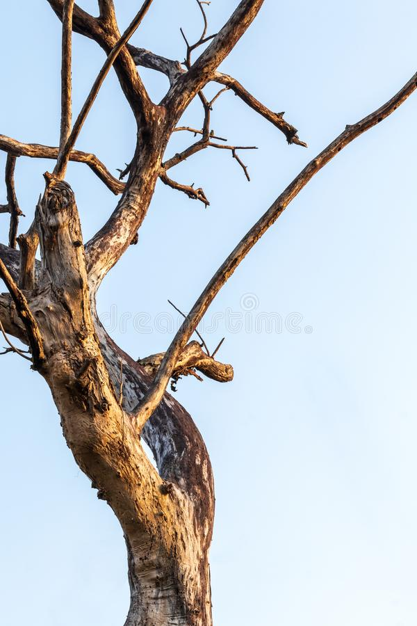 The dead tree branches to the sky early in the morning royalty free stock photography