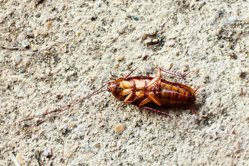 Download Close Up Of A Death Cockroach Royalty Free Stock Images - Image: 36008799