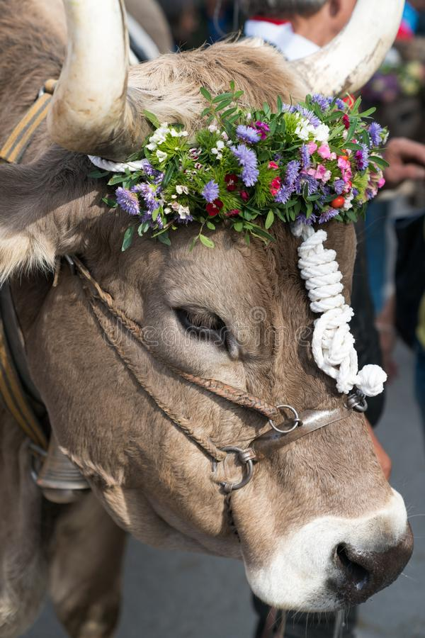 Close up of a decorated prize steer in the Swiss Alps royalty free stock photography
