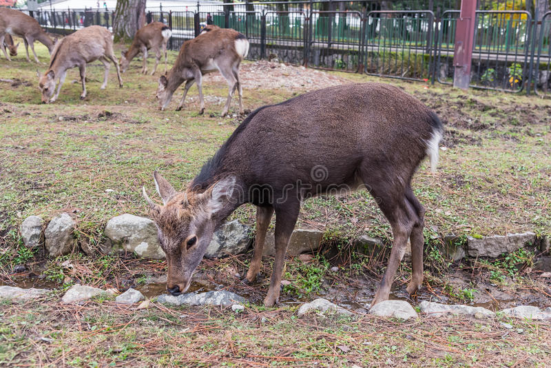 Close up of deer on at Nara park, Japan royalty free stock images