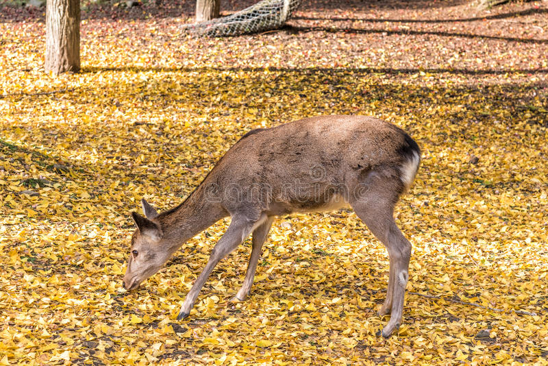 Close up of deer on yellow ginko leaves royalty free stock photos