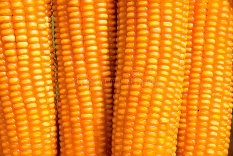Close up dent corn (Zea mays indentata) royalty free stock photos