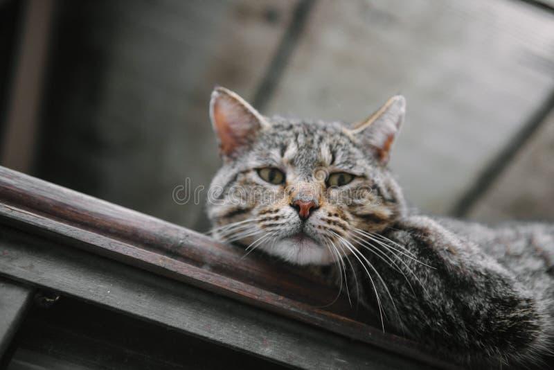 Close-up desabrigado do gato que olha a câmera foto de stock
