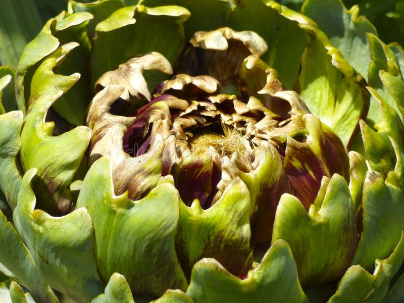Artichoke heart growing in a vegetable garden royalty free stock images