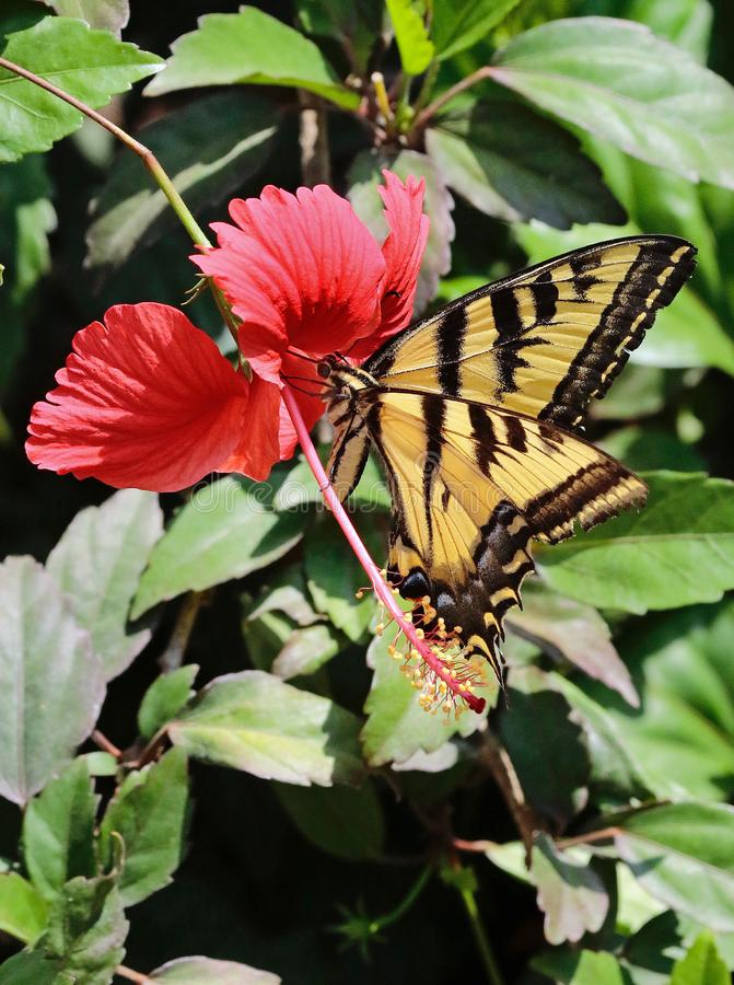 Butterfly. Close up detail of black and yellow Swallow Tail butterfly on red flower stock photos