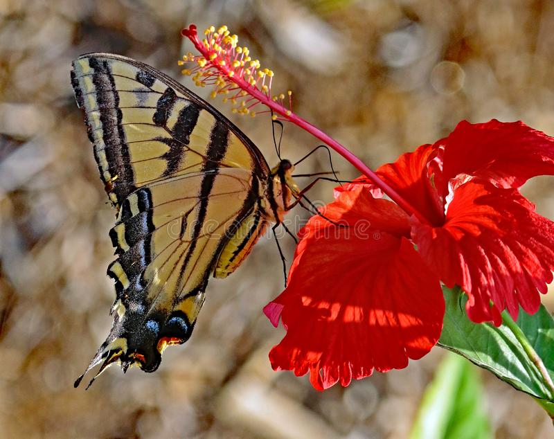 Butterfly. Close up detail of black and yellow Swallow Tail butterfly on red flower stock images