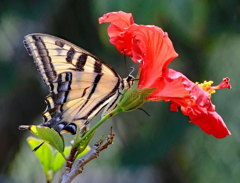 Butterfly. Close up detail of black and yellow Swallow Tail butterfly on red flower stock photography