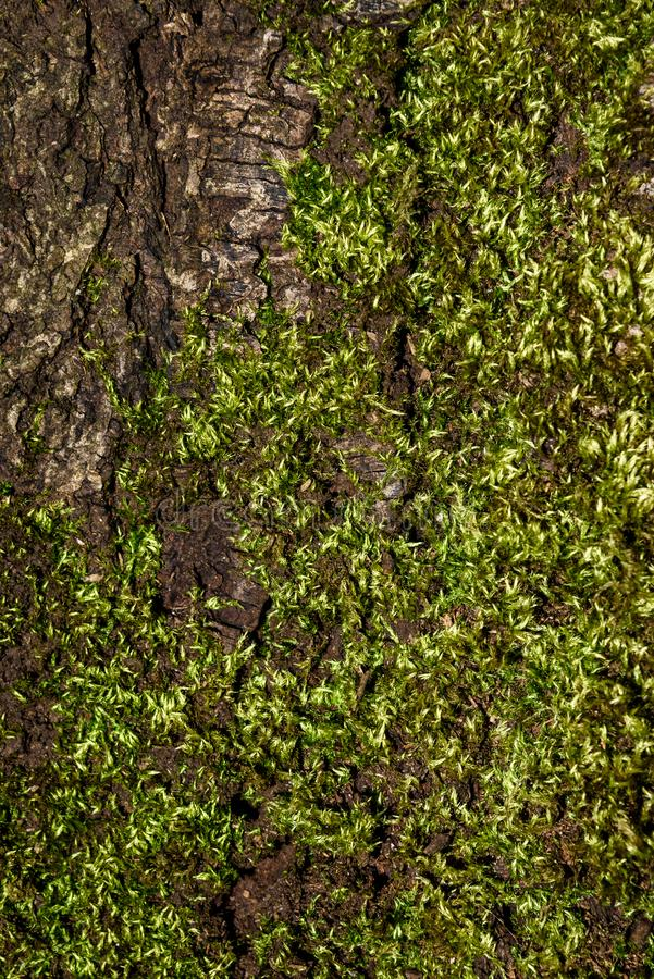 Close up detail of cracked tree trunk bark and bright green moss, as a nature background stock images