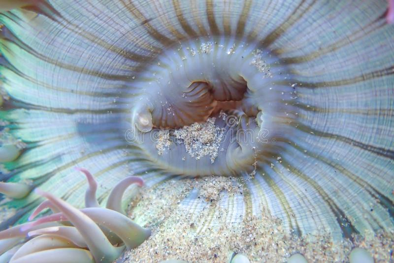 Close up detail curves and lines in sea anemone royalty free stock photo