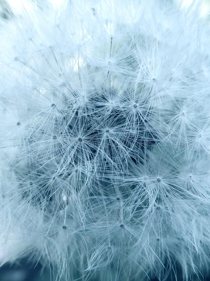 Close up detail of dandelion royalty free stock photography