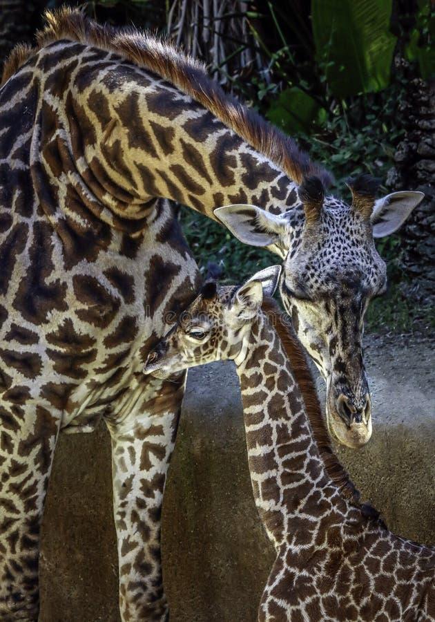 Masai Giraffe Portrait royalty free stock photos