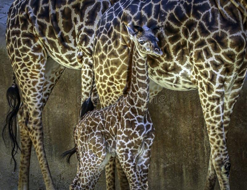 Masai Giraffe Portrait stock image