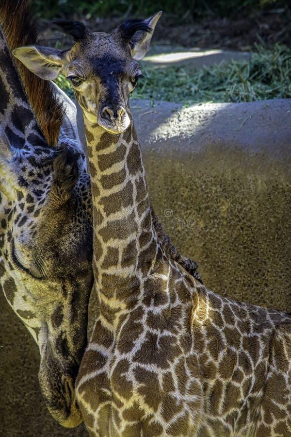 Masai Giraffe Portrait royalty free stock image