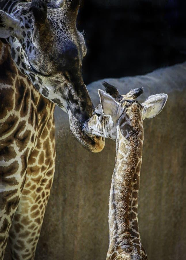 Masai Giraffe Portrait royalty free stock photo