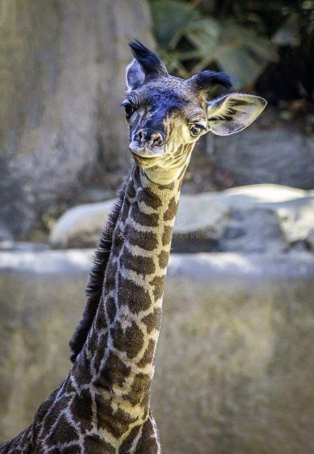 Masai Giraffe Portrait stock images